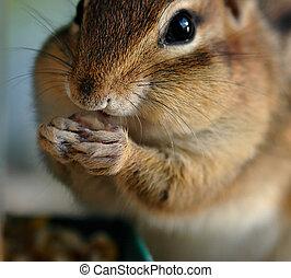 écureuil rayé