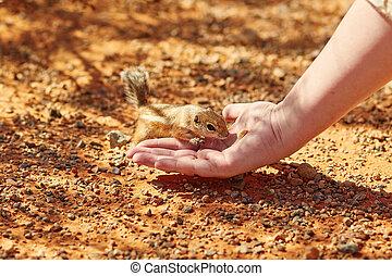 écureuil rayé, prendre, écrou, woman's, main