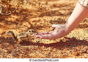 écureuil rayé, prendre, main, écrou, womans
