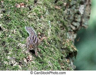 écureuil rayé, sur, a, arbre