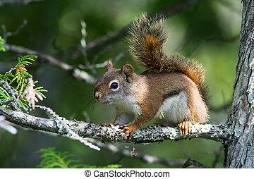 écureuil, rouges