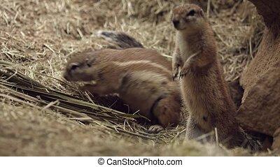 écureuil, trou, sien, terrestre, sauvage