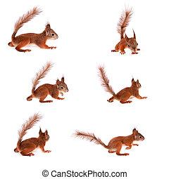 écureuil, vulgaris, eurasien, blanc, sciurus, rouges