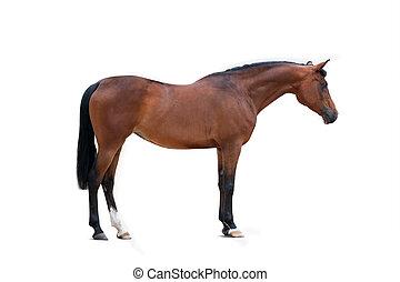 égua, sobre, isolado, baía, árabe, fundo, branca