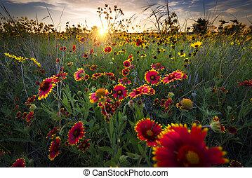 élénk, hajnalodik, felett, texas, wildflowers