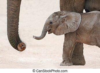 éléphant africain, bébé, et, maman