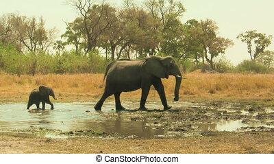 éléphant africain, bébé, mère, suivre, sien