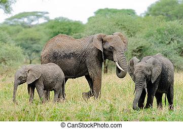 éléphant africain