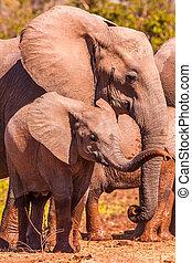 éléphant africain, coffre, bébé, sien, levage