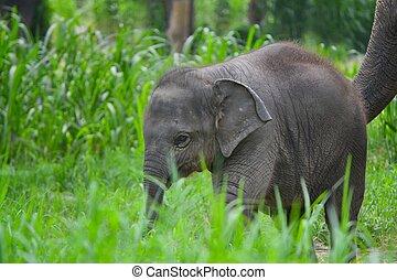 Éléphant, asie, sud-est, forêt, mère, bébé