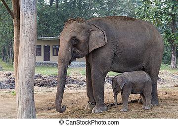 Éléphant,  chitwan,  national,  Népal, Parc, mère, bébé