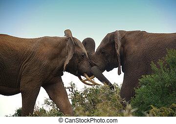 éléphant, combat, taureaux