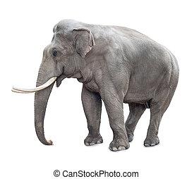 éléphant, isolé, blanc