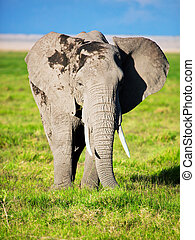 éléphant, sur, savanna., safari, dans, amboseli, kenya, afrique