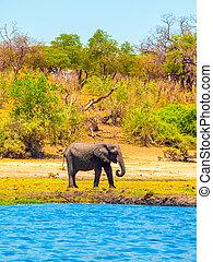 éléphant, water., afrique., chobe, africaine, botswana, rivière