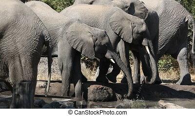 éléphants africains, eau potable