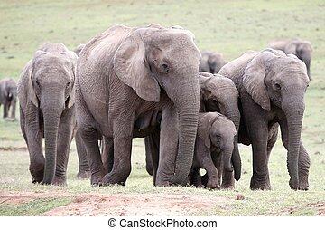 éléphants africains