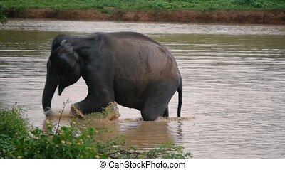 éléphants, bain, kwae-noi, river., prendre, kanchanaburi,...
