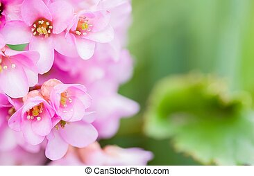 éléphants, cordifolia, oreilles, bergenia, pigsqueak, plante, ou