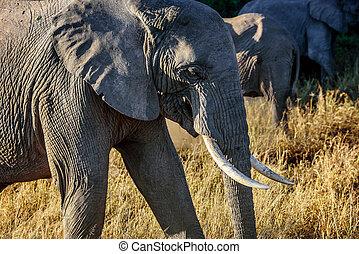 éléphants, dans, kenya, afrique