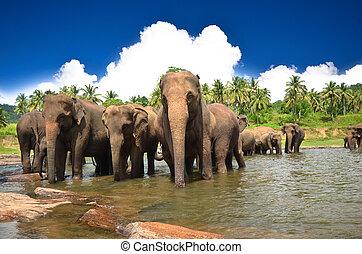 éléphants, dans, les, rivière