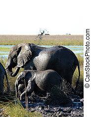éléphants, douche, prendre, rivière, boue, chobe, botswana