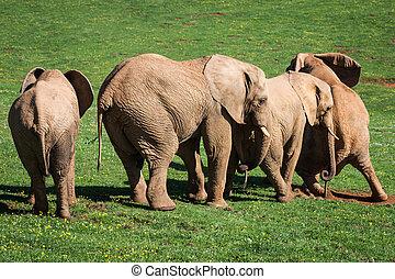 éléphants, famille, sur, africaine, savanna., safari, dans, amboseli, kenya, afrique