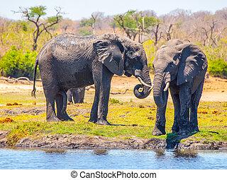 éléphants, national, water., afrique, deux, parc, chobe, riverfront, africaine, botswana