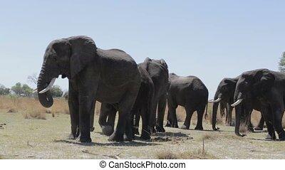 éléphants, troupeau, africaine