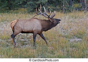 élan, canadensis, bugling, cervus, taureau