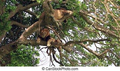 élevé, africaine, deux, grand, pattes, arbre, sien, lions, bas, pendiller, perché