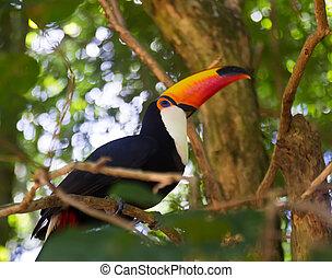 élevé, toucan., photo, toco, qualité