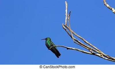 émeraude, colibri