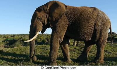 énorme, éléphant africain