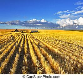 énorme, après, récolte, montana, champs
