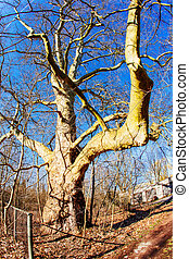 énorme, arbre chêne