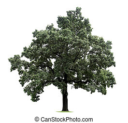 énorme, arbre, isolé