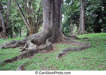 énorme, arbre, racines