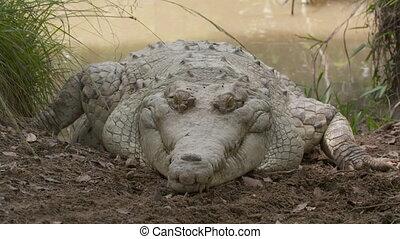 énorme, crocodile, orinoco, parc, colombie, wisirare