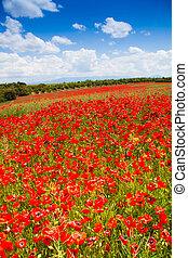 énorme, fleurs, pavot, rouges, champ