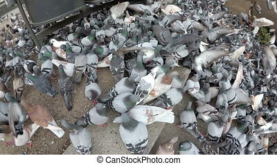 énorme, lent, manger, ville, pigeons, mouvement, park., dehors, troupeau, vue, sommet, pain