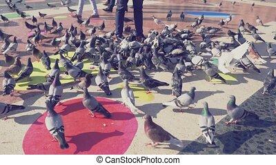 énorme, lent, square., ville, pigeons, mouvement, troupeau