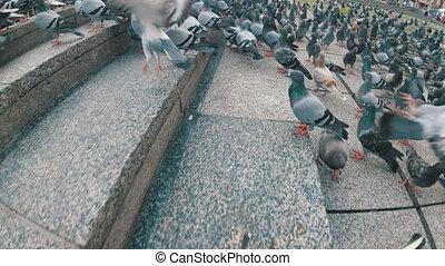 énorme, lent, ville, pigeons, mouvement, rue., troupeau