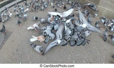 énorme, manger, ville, pigeons, parc, dehors, troupeau, pain