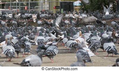 énorme, manger, ville, pigeons, rue, dehors, troupeau, pain