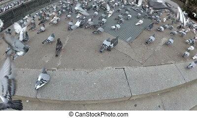 énorme, pigeons, rue, troupeau, ville