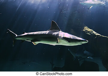 énorme, requin, taureau, natation