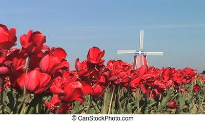 éolienne, champ tulipe