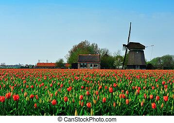 éolienne, tulipes