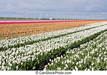 éoliennes, coloré, tulipes, il, champ, derrière, hollandais